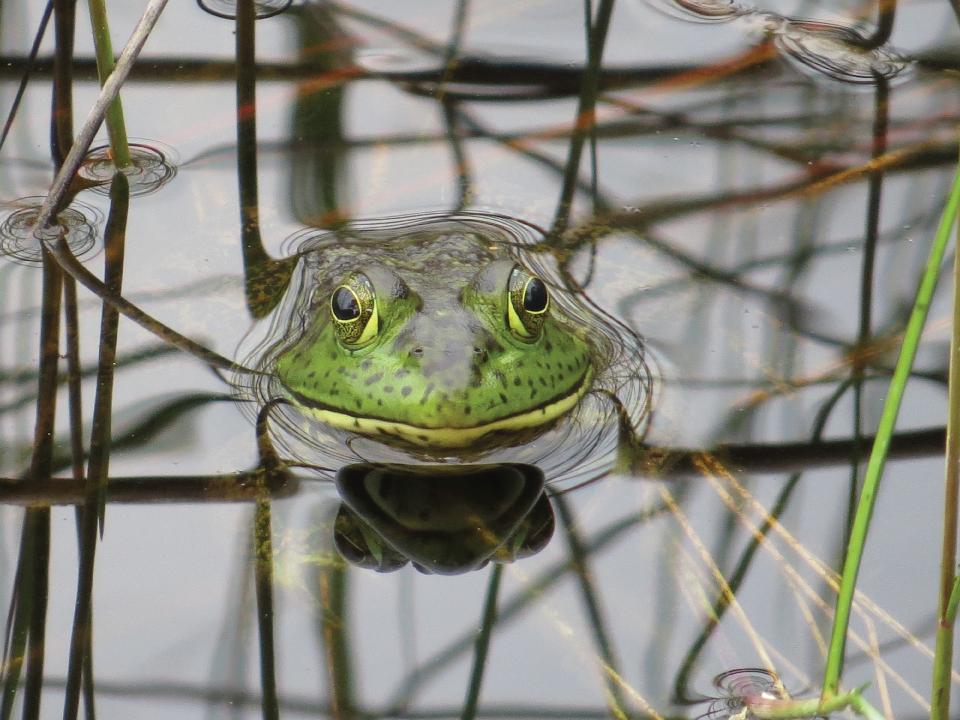 keith_beck-guana_frog