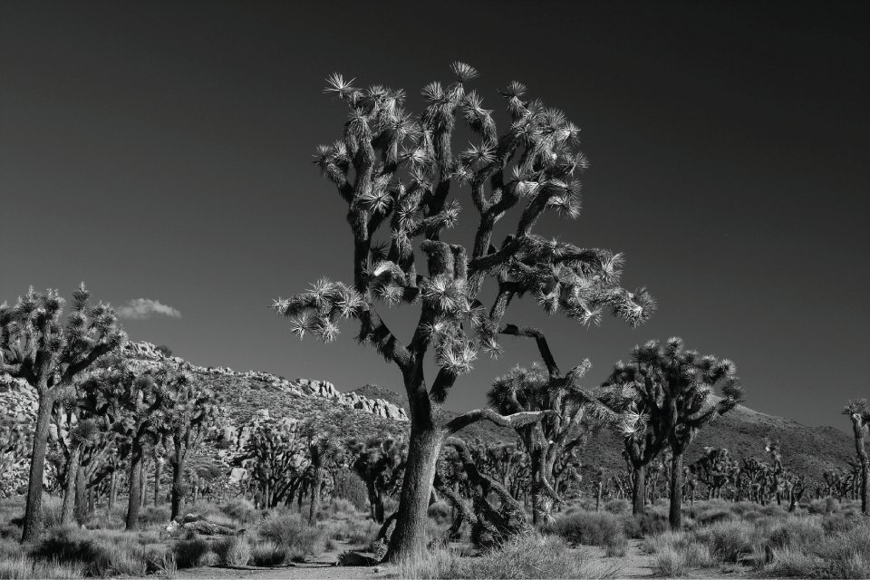 jeff_garrison-joshua_tree