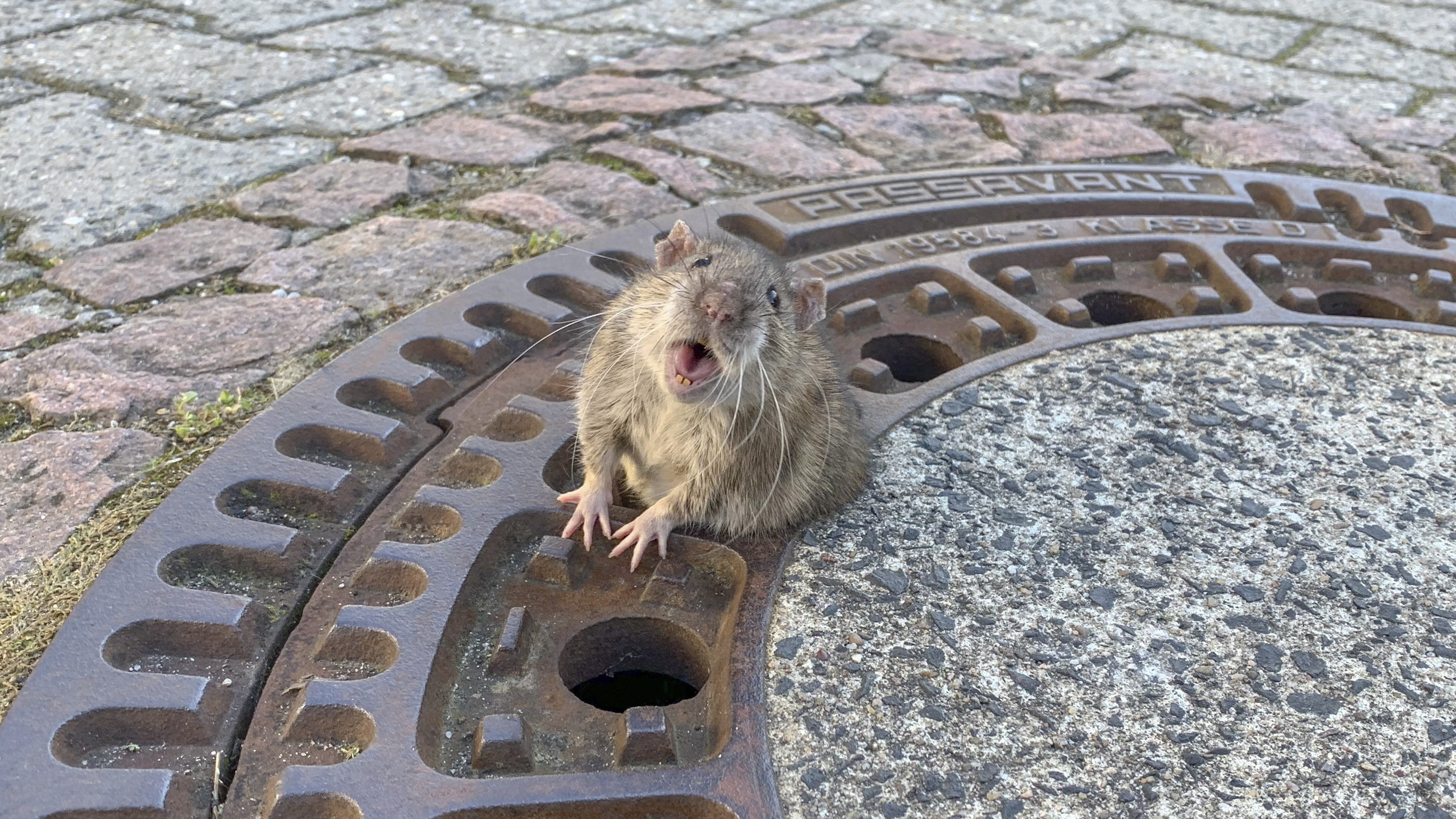 A plump rat stuck in a manhole cover spurred volunteer